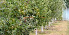 Care-i rostul văruirii pomilor Beautiful Flowers, Fruit, Cottages, Garden, Agriculture, Plant, Cabins, Country Homes, Cottage