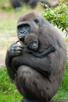 Gorillas are herbivorous apes that inhabit the forests of central Africa. Find out more fascinating gorilla facts including lifespan, diet, and much more. Primates, Herbivorous Animals, Baby Animals, Cute Animals, Pretty Animals, Baby Gorillas, Baby Orangutan, Ape Monkey, Animal Kingdom