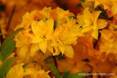 Rhododendron 'Huisman's Sun Star' is a new azalea that produces fragrant, double flowers in May.