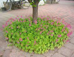 Geranium macrorrhizum - Flocknäva