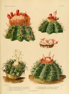 The Cactaceae : - Biodiversity Heritage Library | printable vintage botanical prints