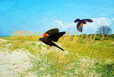 Bird Art Print Red Winged Blackbirds Flying by FineArtography