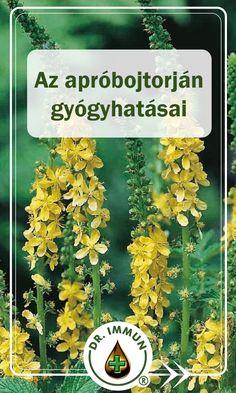 A közönséges párlófű már az ókor világában is ismert gyógynövény volt. Egy régi ógörög mondában az áll, hogy a párlófű felfedezése Mithridatész Eupatór pontoszi királynak köszönhető, és a növény latin neve is hozzá kapcsolható (eupatoria). De nem csak a görögöknél fordult elő az apróbojtorján, hanem más kultúrákban is. Az ókori Egyiptomban például mágikus erővel ruházták fel, úgy vélték, hogy segítségével elűzhetők a rossz és ártó szellemek, meggátolhatók az ártások és eltéríthetők a… Herb Garden, Natural Remedies, The Cure, Health Fitness, Herbs, Nature, Plant, Naturaleza, Herbs Garden