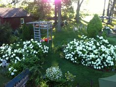 I love the white hydrangia in our yard.  They continue to spread and they are easily transplanted.