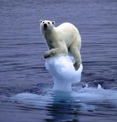 The polar ice caps are melting. Many polar bears are drowning due to exhaustion because the ice flows are disappearing. Please save the polar bears. Cute Baby Animals, Animals And Pets, Funny Animals, Wild Animals, Funniest Animals, Animal Funnies, Arctic Animals, Animal Humour, Animal Quotes