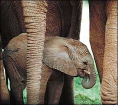 Baby Animals Photo Gallery | Away.com  |  This baby Dumbo looks innocent enough, but beware of his adult self. Except for snakes, elephants kill more human beings each year than any other creature in the wild. However, attacks by Asian elephants far outnumber those in Africa.