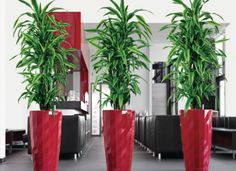 In most of the corporate companies and homes indoor plants are used for decoration. This type of decoration gives a fresh look to the space. Large Indoor Planters, Indoor Trees, Diy Planters, Floor Plants, House Plants, Plantas Indoor, Fertilizer For Plants, Office Plants, Interior Plants
