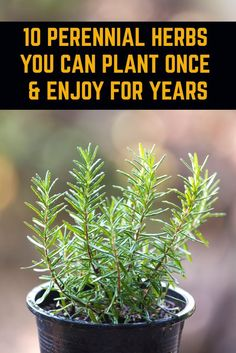 10 Perennial Herbs You Can Plant Once & Enjoy For Years - - Plant these herbs once and they'll come back every year meaning you can have an endless supply of nutritious and delicious fresh herbs all year long. Growing Plants, Growing Vegetables, Planting Vegetables, Growing Herbs Indoors, Container Gardening Vegetables, Container Plants, Veggies, Long Blooming Perennials, Sun Perennials
