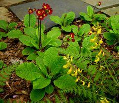 Primula x polyantha 'Old Brick Reds' with Corydalis cheilanthifolia; Carolyn Walker at Carolyn's Shade Gardens