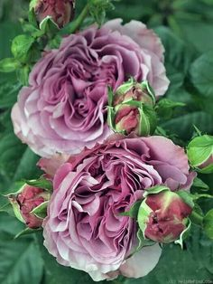 What beautiful roses!