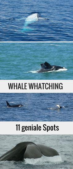 In diesem Artikel verraten wir dir unsere 11 Lieblingsorte zum Wale beobachten. Wir haben auf unseren Reisen beim Whale Watching schon Buckelwale, Pottwale, Orcas, Südkaper, Grauwale und Belugas gesehen.