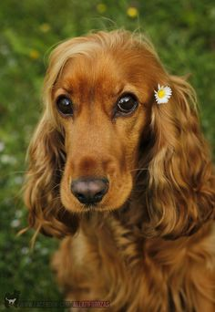 'Fairy Panka' Beautiful Cocker Dog by Nagy-Németh Péter Cute Dogs Breeds, Cute Dogs And Puppies, Pet Dogs, Dog Breeds, Dog Cat, Doggies, Perro Cocker Spaniel, Golden Cocker Spaniel, Cocker Spaniel Dog