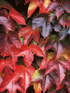 Virginia Creeper Climber  Virginia creepers have adhesive pads that help them adhere to walls and posts, so they do not need wires, trellises, or canes for support.