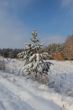 Pine in snow - null