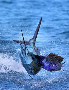 Guatemalan sailfish