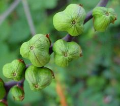 Iris seed pods+