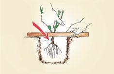 Návod na sázení a pěstování růží :: Růže Havel