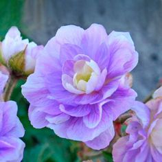 Append a beautiful appeal to your garden by selecting this Spring Hill Nurseries Summer Skies Double Geranium, Live Bareroot Perennial Plant, Blue Flowers. Plants, Violet Flower, Geranium Pratense, Geraniums, Showy Flowers, Hardy Geranium, Drought Tolerant Plants, Perennial Plants, Blue Flowers