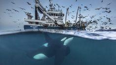Ein Orca gönnt sich ein paar Heringe, die einem Fischerboot im Norden von…