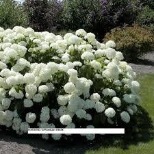 hortensia annabel