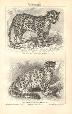 1905 Pantheras Panther Cats Leopard Jaguar by CabinetOfTreasures