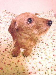 My Wiener Sausage Dog, Dachshund Wiredhaird