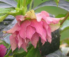 Helleborus x orientalis SP Elly