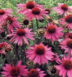 Do you know the health benefits of echinacea? http://www.sifalibitkitedavisi.com/ekinezya-faydalari-nelerdir.html