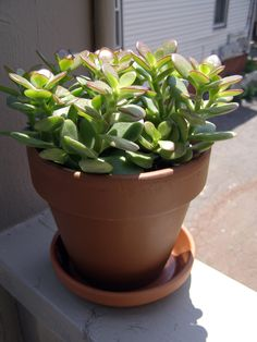 Growing Jade Houseplants – Tips For The Care And Maintenance Of Jade Plants !