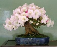 Precioso bonsai