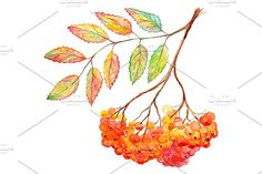 Watercolor rowan ashberry branch by Art By Silmairel on @creativemarket