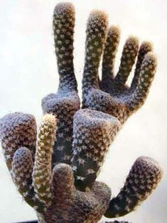 Maihueniopsis clavarioides (Dead Man's Fingers) is a low growing cactus up to 6 inches cm) tall. Weird Plants, Unusual Plants, Rare Plants, Exotic Plants, Cool Plants, Agaves, Cacti And Succulents, Planting Succulents, Planting Flowers