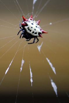 Gasteracantha Cancriformis-Spiders are creepy,but some are beautiful as well. This one looks like a skull with spikes!
