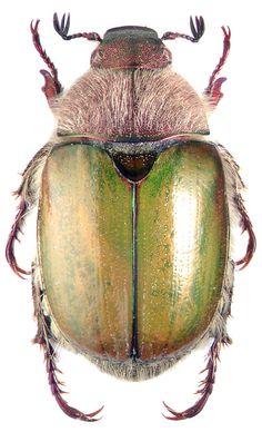 proagopertha_lucidula_fald.jpg 486×800 pixels - hairy beetle!