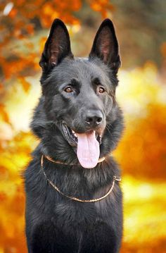Beautiful black German Shepherd...   Click on my image to see more beautiful pictures of #GermanShepherd