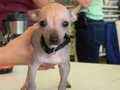 Chanel is an adoptable Xoloitzcuintle (Mexican Hairless) Dog in Hutto, TX. Channel along with her brother Louiel were brought to a local animal shelter after their owners moved away and left them behi...