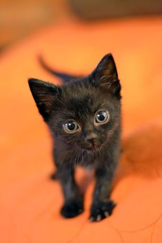 Soot's baby photo in honor of his 2 year foster fail adoption anniversary! Cute Cats And Kittens, Cool Cats, Kittens Cutest, Pretty Cats, Beautiful Cats, Cute Baby Animals, Cat Breeds, Crazy Cats, Funny Cats