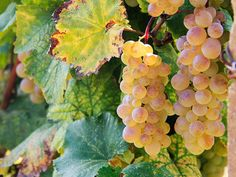 Grapes on the vine in Kakheti, Georgia's wine-growing region