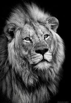 Akeli - souhailbog: Lion by Sergey Bidun Lion And Lioness, Lion Of Judah, Lion Wallpaper, Animal Wallpaper, Lion Photography, Wild Animals Photography, Lions Photos, Gato Grande, Lion Drawing