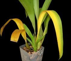 Yellow Orchid Leaves on an Oncidium