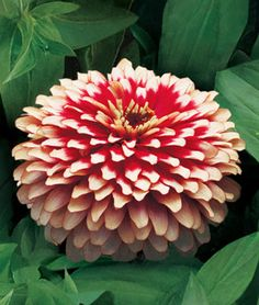 Zinnia, Swizzle Cherry And Ivory