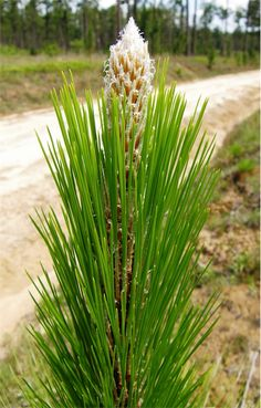 """Pinus Palustrus, commonly known as the Longleaf Pine, is a pine native to the southeastern United States. As an ingredient in natural health treatments, it is often used for its antibacterial properties and disseminated sclerosis and sexual dysfunction. Royal Siam use the oil extracted from the young plant in small quantities in the acclaimed """"Age Defying Serum"""" - the closest mankind has yet come to creating the legendary """"Elixir of Youth""""."""