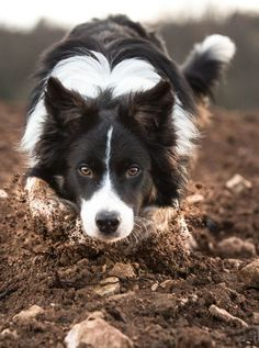 Border collie at work