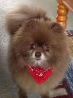 The traits we all admire about the Cute Pomeranian Dogs All About Bold Pomeranian Puppies Spitz Pomeranian, Cute Pomeranian, Pomeranians, Chocolate Pomeranian, Singapura, Cute Puppies, Dogs And Puppies, Pomes, Getting A Puppy