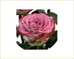 Double Party - Standard Rose - Roses - Flowers by category | Sierra Flower Finder
