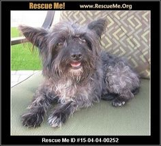 Rescue Me ID: 15-04-04-00252Bugsy (female)  Yorkie Mix  Age: Young Adult  Compatibility:Good with Most Dogs, Good with Kids and Adults Personality:Average Energy, Average Temperament Health:Spayed, Vaccinations Current  My name is Bugsy. I was surrendered to Small Dog Rescue because my owner had no time for me. But I don't get it�'�|they kept one of my puppies. Aren't puppies a lot of work? I guess I wasn't cute or young enough for them anymore. Whatever. My foster mom renamed…