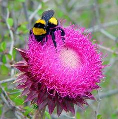 Bumble Arısı-Bumble arıları eşek arılarında olduğu gibi ana arı kışı tek başına kış uykusunda geçirir. Baharda ana arı terkedilmiş fare yuvası gibi oyuklar araştırır. Yuvada bal mumundan yumru şeklinde gözler yaparak kuluçkasını büyütür. İlk kuluçka çıktıktan sonra yuvada daha uzun süre kalarak yavru üretimine ağırlık verir. Bumble arıları bal üretir fakat bu bal bir tatlı kaşığını geçmez. Kolonideki arı sayısı 50 ile 400 arasında değişir.
