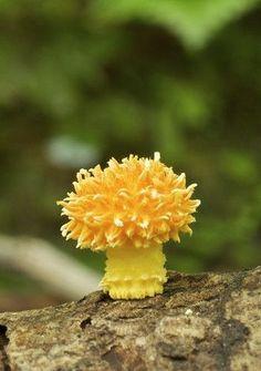 ˚Young specimen of Cyptotrama aspratum. Coachwood Glen, Blue Mountains, Australia