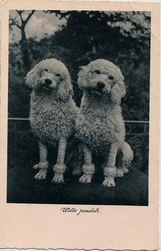 Poodle grooming has changed over the decades! pc witte poedels 1940 by janwillemsen, via Flickr