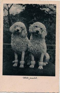 witte poedels 1940